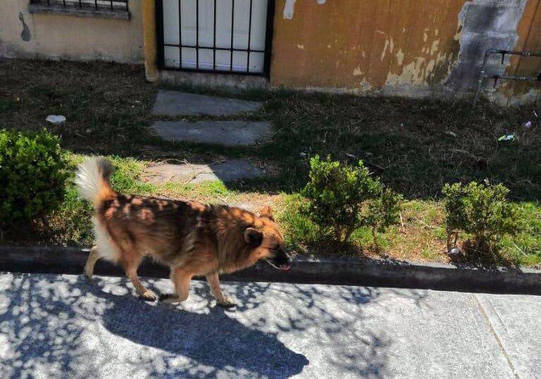 Tres ataques de perros a ciudadanos reportan al mes en Coronango