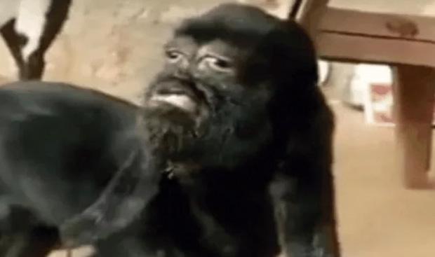 VIDEO En india veneran a cabra con rostro humano