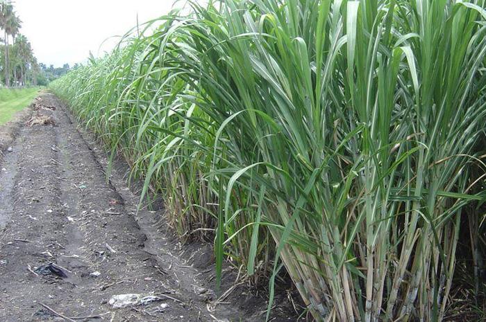 Hay 55 % de avance en la siembra de caña en Atencingo