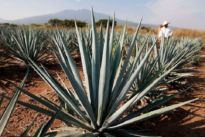 Va Puebla por mil hectáreas de agave mezcalero al año