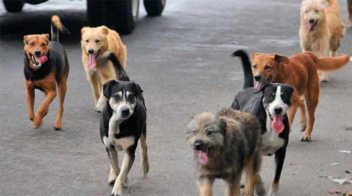 Perros callejeros se adueñan de las calles de Teziutlán