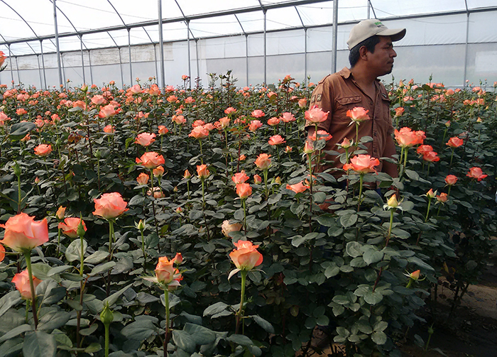 Covid-19 genera pérdidas a floricultores de Teotlalcingo, en El Verde