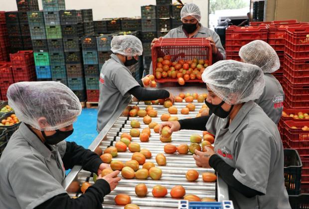 Pese a Covid productores de Aquixtla exportan tomate a EU