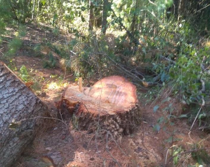 En Teotlalcingo continua la tala clandestina, y nadie interviene