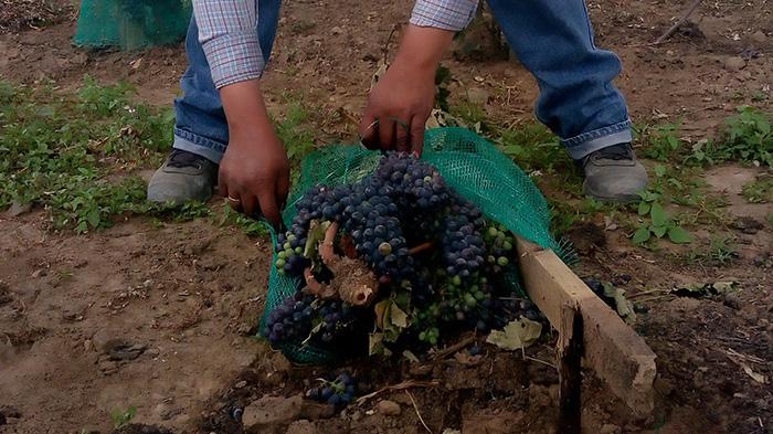 Tras vandalizar plantíos de uva, SDR apoyará a productores