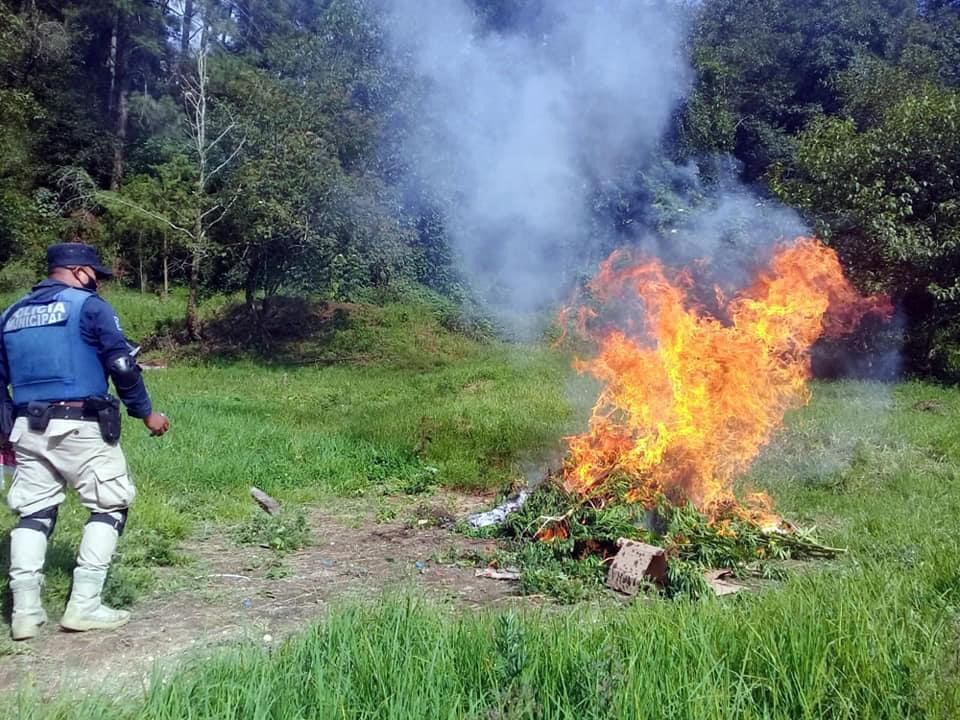 Localizan y destruyen plantío de marihuana en Tlatlauquitepec