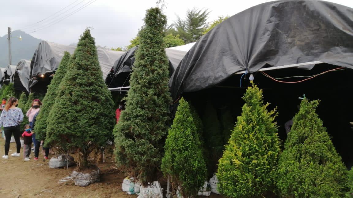 Repuntan ventas de árboles de navidad en Tenango de las Flores