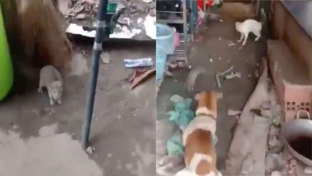VIDEO Se unen perro y gato contra enorme rata