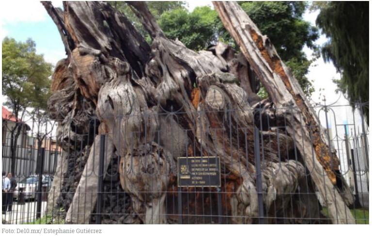 El árbol de la Noche Triste está en Cancún