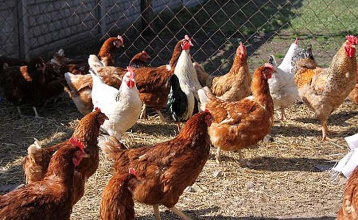 Producción de traspatio avícola, un riesgo para empresas del ramo