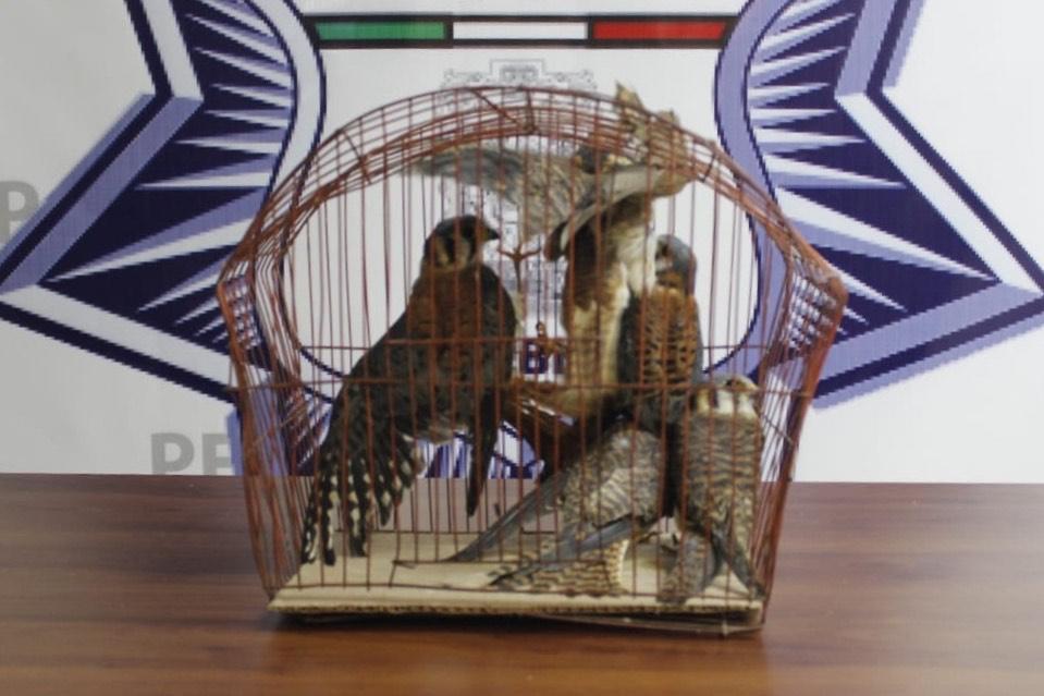 Vendía por Facebook aves en peligro de extinción en Puebla