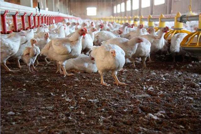 Denuncian que Sedesol entregó gallinas enfermas en Tehuacán