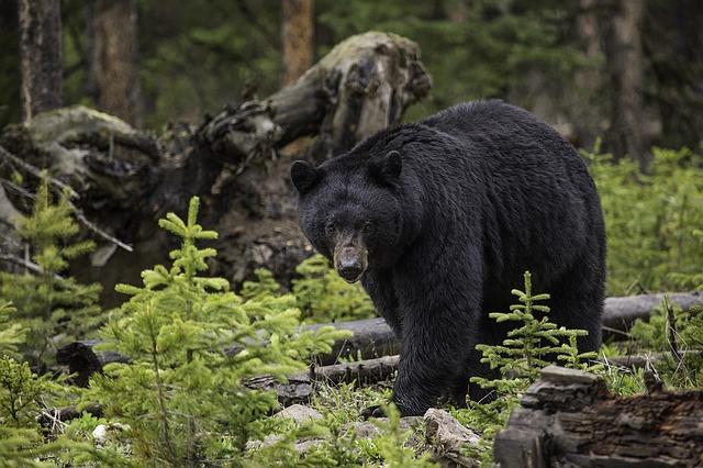Buscan recuperar su territorio los osos negros en Monterrey