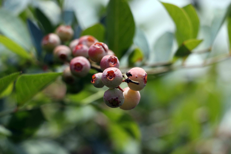 Puebla, primer lugar en producción de blueberry