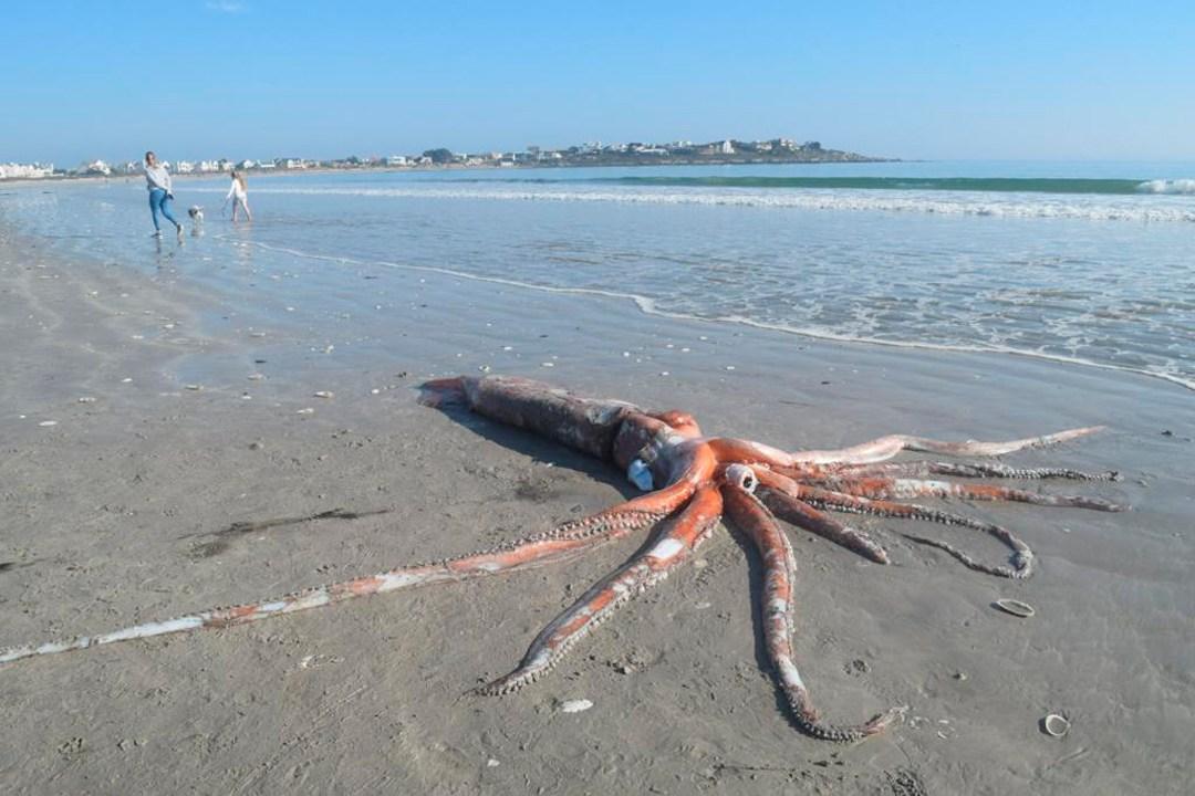 Sorprende a turistas un calamar gigante varado en la costa