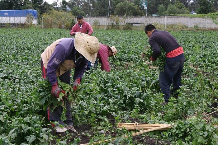 Campesinos de Tehuacán rentan a chinos sus tierras y son sus peones