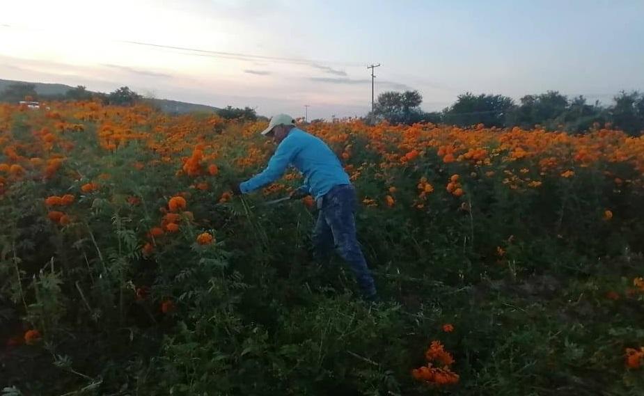Flor de cempasúchil es sembrada en Izúcar para consumo local