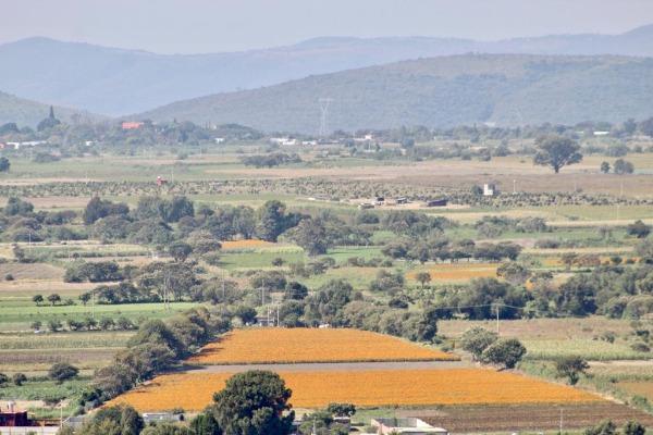 Campos de Atlixco lucen escasos de flor de cempaxúchitl