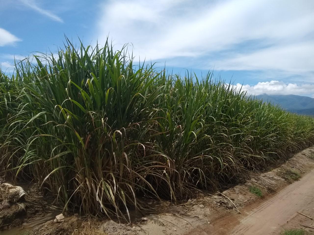 Sequía causa afectaciones a la producción de caña en la región de Tehuacán