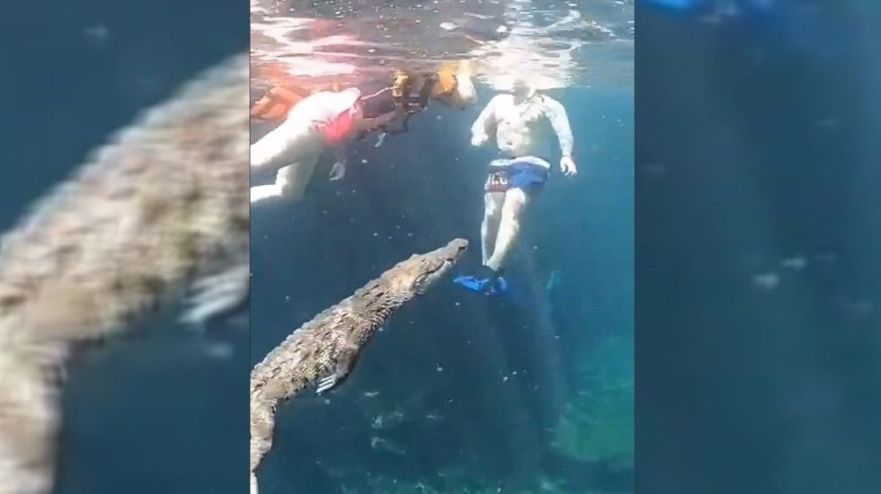 VIDEO Cocodrilo sorprende al nadar entre turistas de Tulum