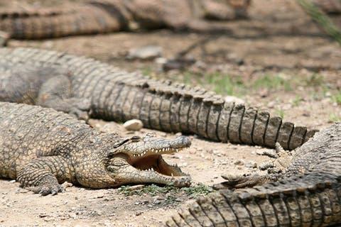 Cocodrilo de más de 3 metros mata a bañista en laguna de México