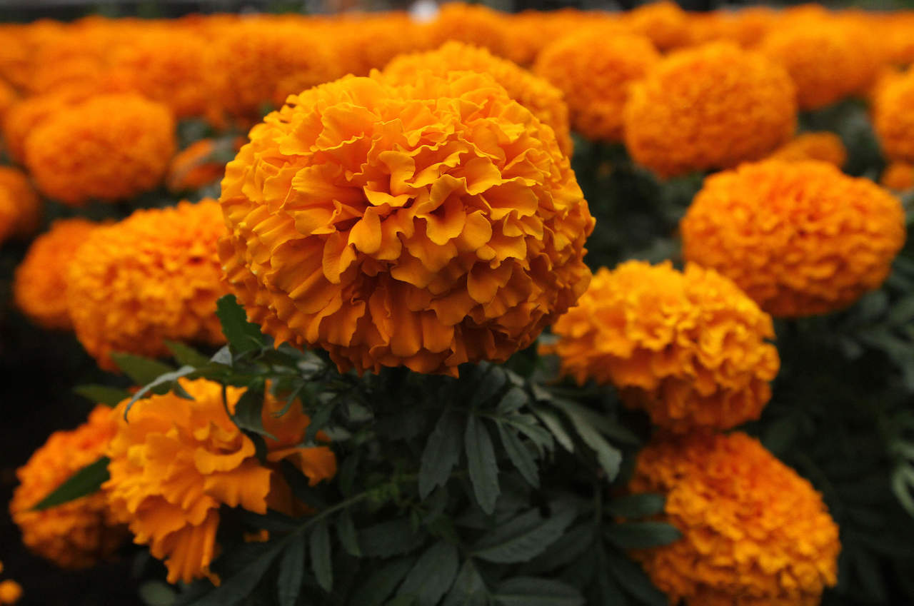 Productores de flor de cempasúchil ya se alistan en Izúcar
