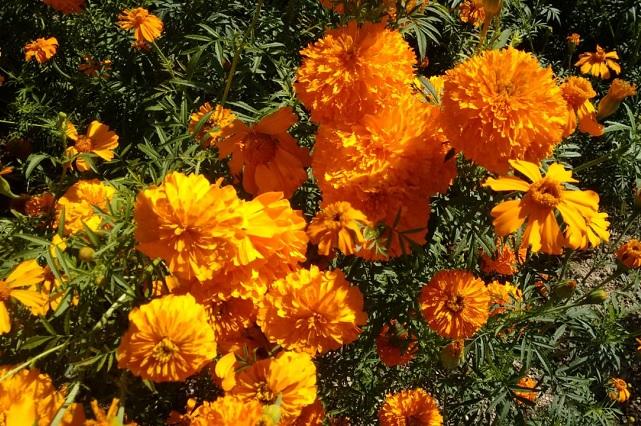 Puebla venderá 40 mil toneladas de Flor de Cempasúchil