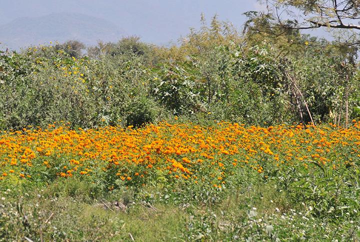Reducen siembra de flor de muerto por temor de no vender por pandemia