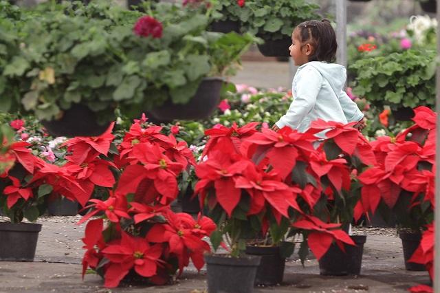 En Tenango de las Flores prevén vender 18 mil nochebuenas