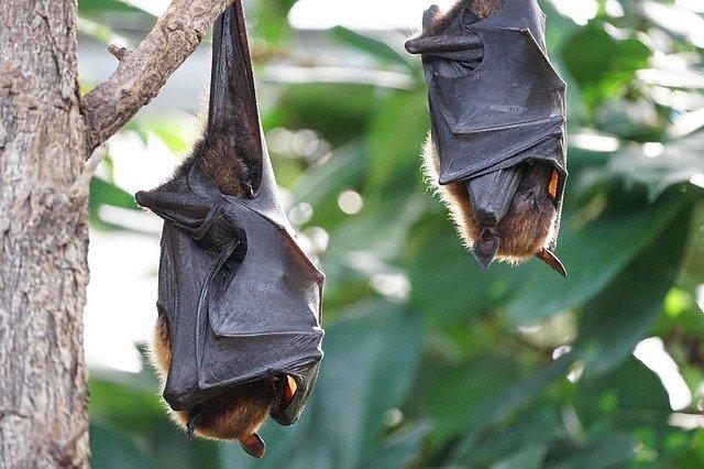 Murciélagos de Tailandia son investigados para encontrar origen de Covid19