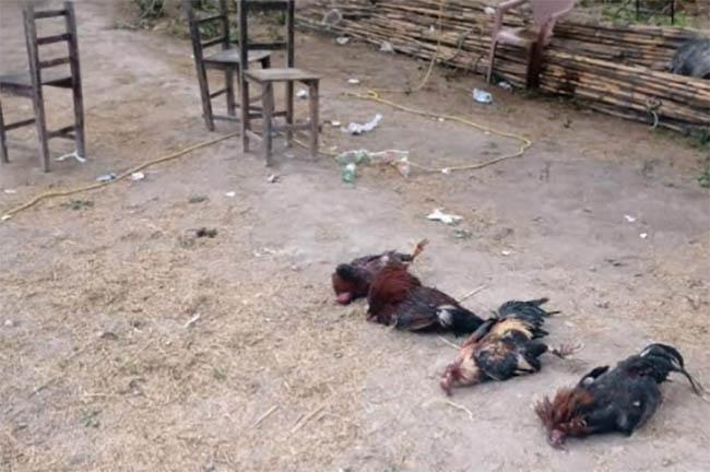 Presencia policíaca inhibe pelea clandestina de gallos en Santa María Coapan