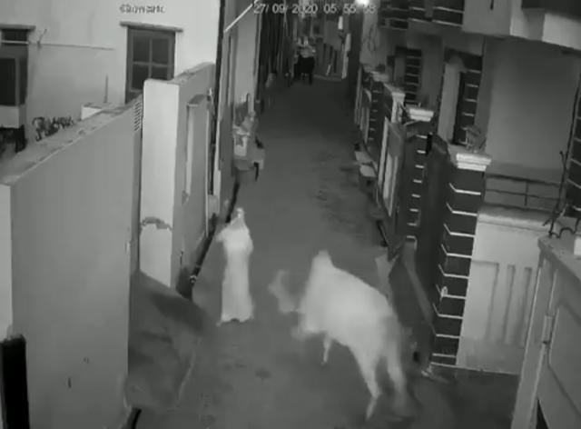 VIDEO Niño defiende a su abuelita de ser embestida por un toro