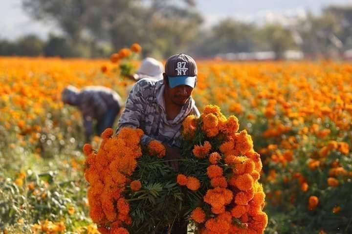 Coronavirus redujo la siembra de flor de cempaxúchitl en Atlixco