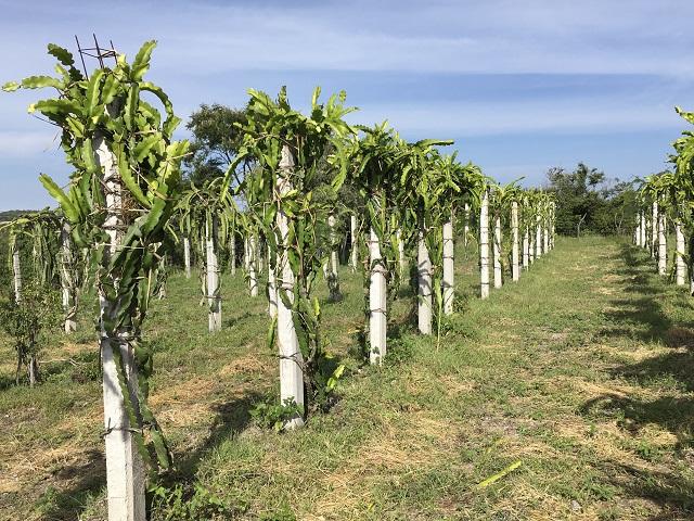 Ayuntamiento apoyará cultivo de pitahaya en Ahuatempan
