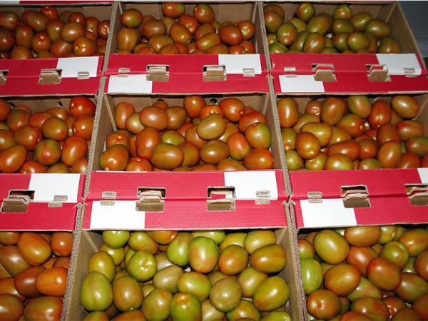 Entrega SDR certificado de buenas prácticas a productores de tomate en Sierra Norte de Puebla
