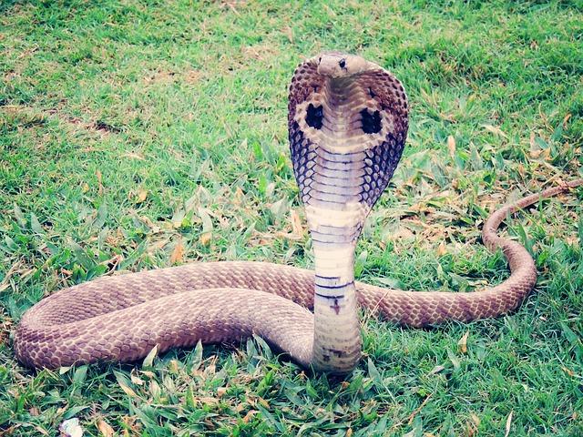 Para poder cobrar la herencia sujeto asesina a su esposa con una cobra