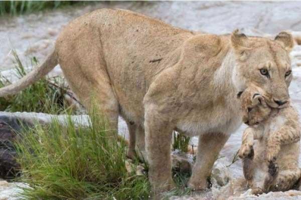 Vecinos ven leonas en parque de San Pedro Zacachimalpa, Puebla
