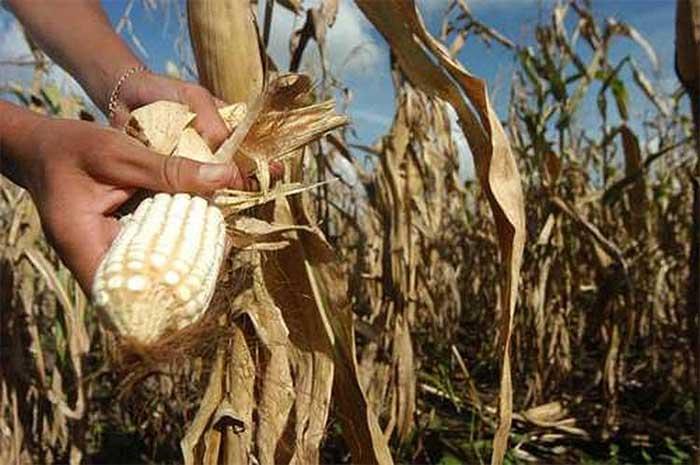 Están en riesgo de desaparecer maíces criollos de Puebla