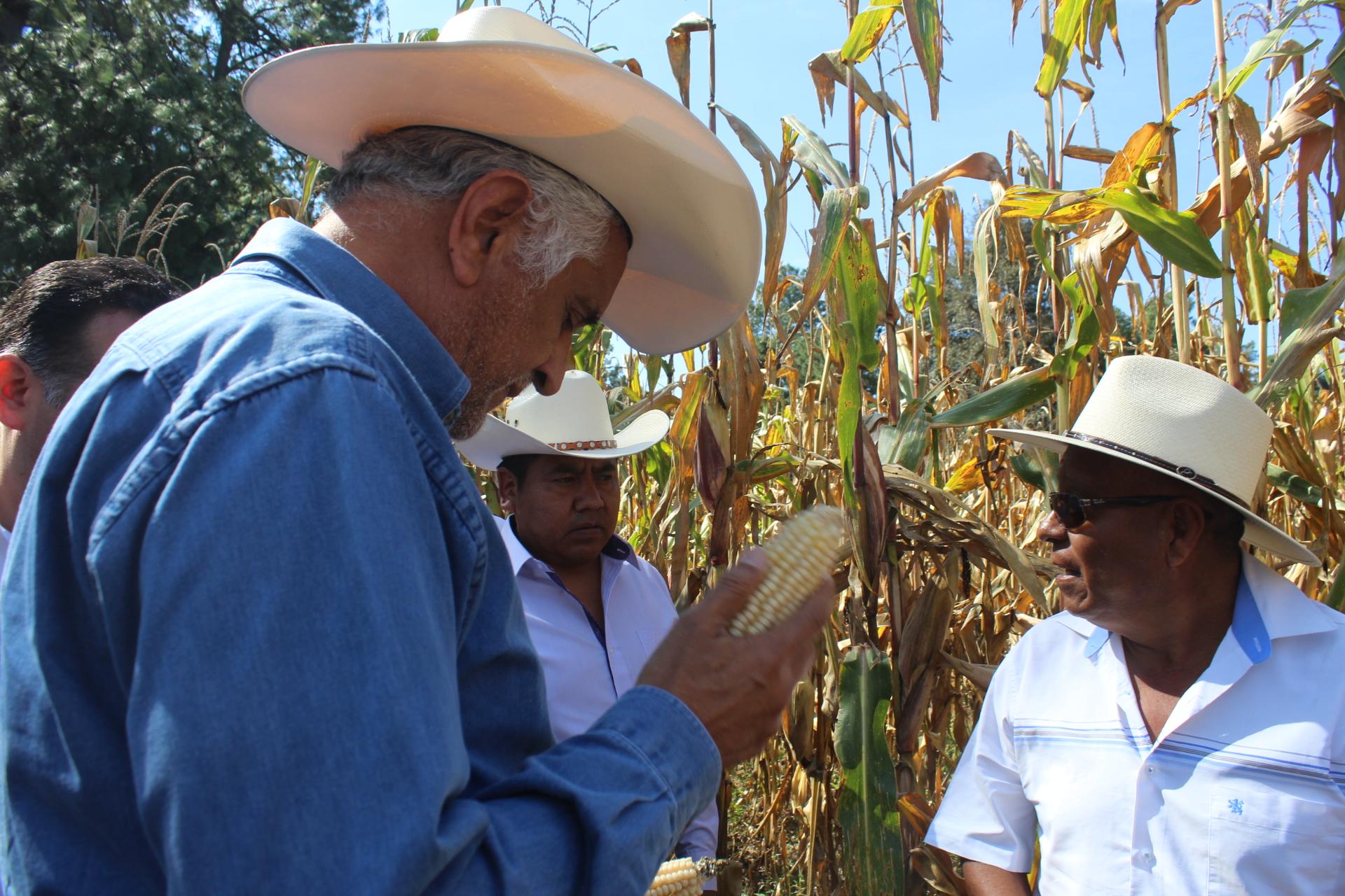 Peligra la siembra de maíz y sorgo en Izúcar debido a la pandemia