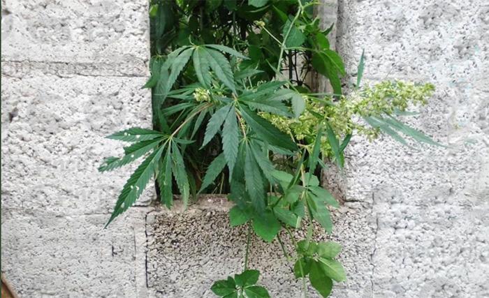 Hallan plantío de marihuana en predio de Zacapoaxtla
