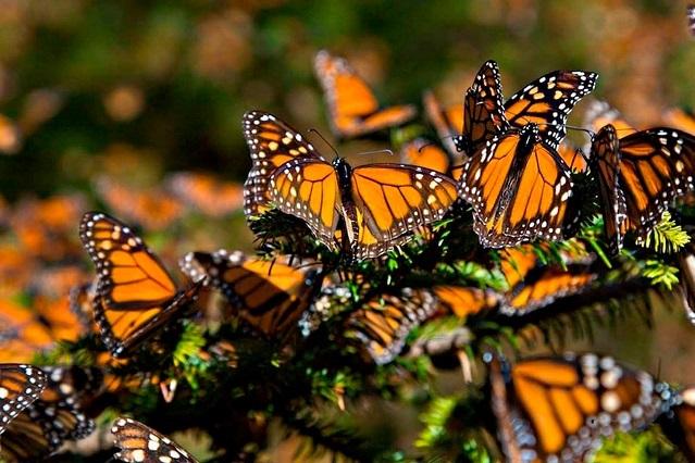 Alistan reapertura de santuarios de la Mariposa Monarca