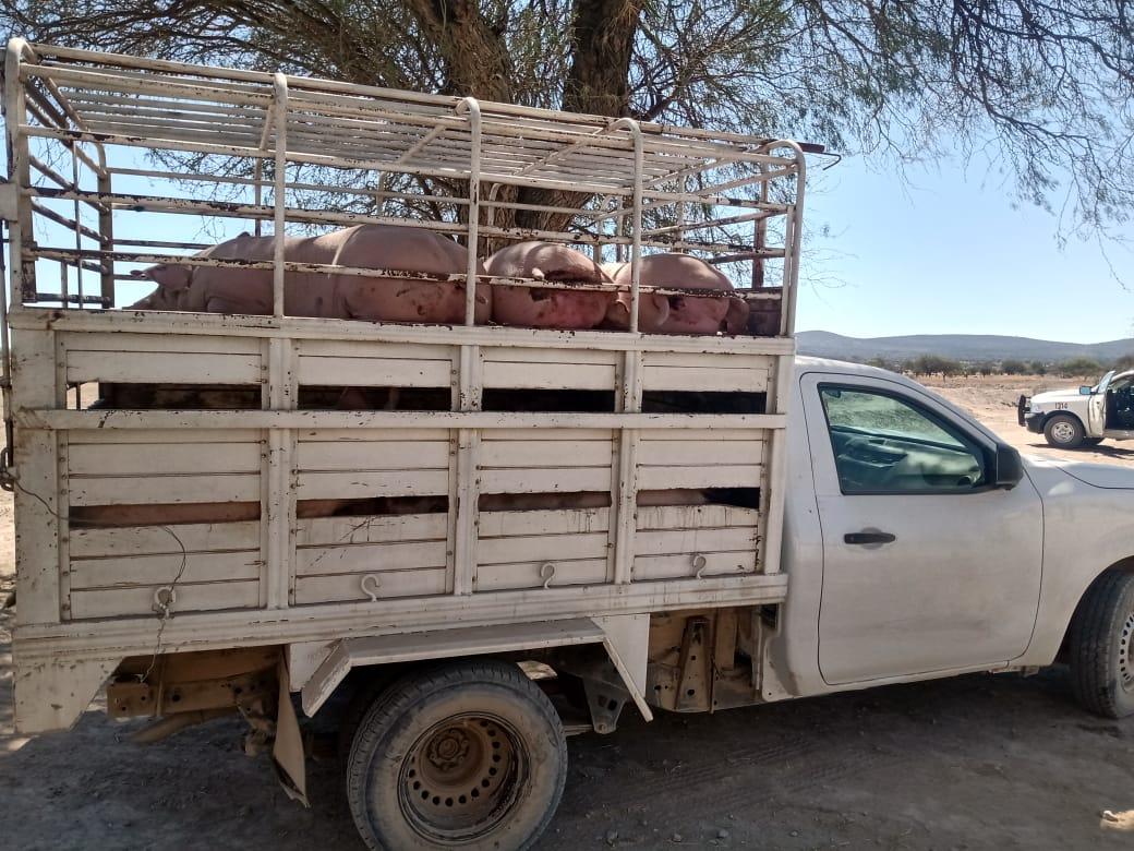 Policías de Tecamachalco recuperan camioneta cargada con marranos