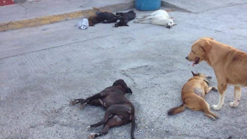 Aparecen perros envenenados en calles de Izúcar