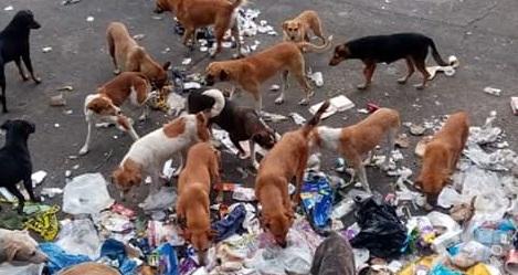 Proliferan perros en situación de calle en basureros de Huejotzingo