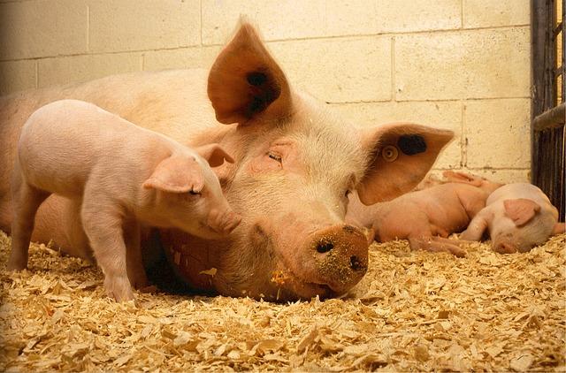 Llega a Latinoamérica nueva gripe porcina transmisible a humanos