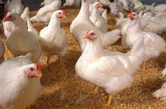 Patsa y Asociación de Avicultores de Tehuacán regalan 32 toneladas de pollo