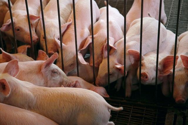 Fiebre africana en cerdos pone en alerta a productores poblanos