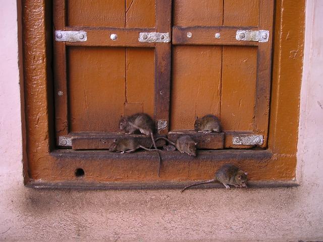 Por falta de comida ratas se vuelven asesinas y caníbales