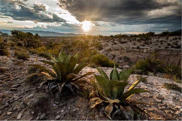 Saquean magueyes en reserva de la Biósfera de Tehuacán para mezcal