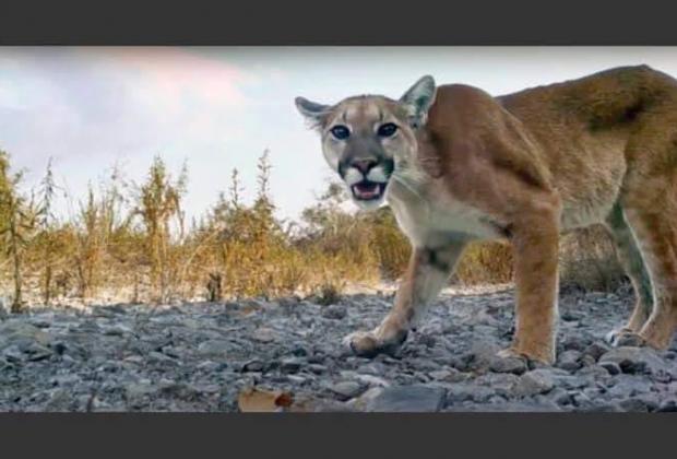 Puma devoró a niño de 12 años cerca de los límites entre Puebla y Oaxaca